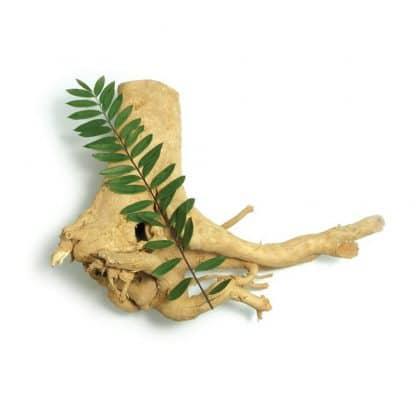 Plante naturelle Tongkat Ali